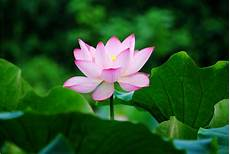 Flower Wallpaper For Home Screen by Lotus Flower Wallpaper Hd Lotus Flower Wallpaper Flower