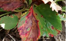 Leaf Blight Leaf Blight Strawberries Ontario Cropipm