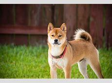 Is Shiba Inu Hypoallergenic?  DogVills