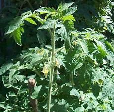 fiori di pomodoro pomodoro lycopersicon esculentum mill piante da tubero