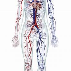 Circulatory System Organs Learn About The Organ Systems In The Human Body