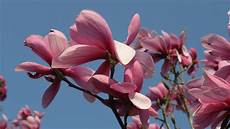 magnolia flowers wallpaper for iphone pink flowers of magnolia desktop backgrounds 3840x2400