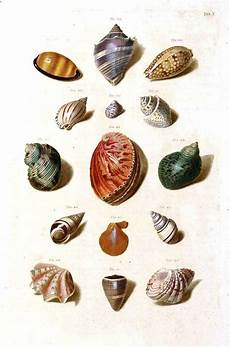 Printable Pictures Of Seashells Sea Shells Color Plate From Vintage Printables