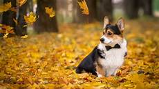 supreme chion wallpaper corgi wallpaper 69 images