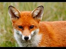 If You Could Be An Animal What Would You Be Fox Gene Study Could Make Any Animal Your Pet Youtube