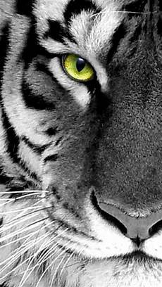 black and white tiger iphone wallpaper black n white photo tiger up iphone 5