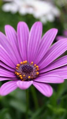 Purple Flower Wallpaper Iphone 6 by 1000 Images About Iphone 6 Plus Wallpaper Nature Flower