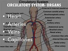 Circulatory System Organs Body System Project By Nathan Matous