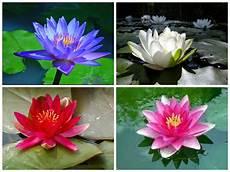 Flor De Lotus Hera Semi Joias Flor De L 211 Tus Feminilidade