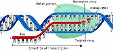 Transcription Biology Pearson The Biology Place