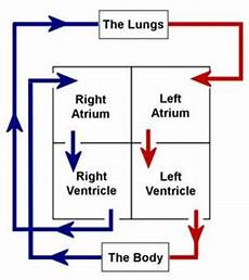 Chart Of Blood Flow Through Heart Blood Flow The Cardiovascular System