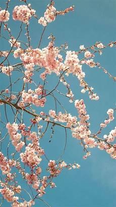 iphone wallpaper hd cherry blossom cherry blossom tree iphone 6 plus hd wallpaper ipod