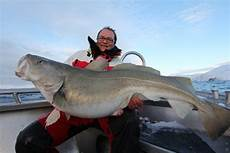 stor fisk torsk i danmark den danske torsk og andre fiskearter