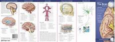 Anatomy Of The Brain Pocket Study Guide 2nd Edition