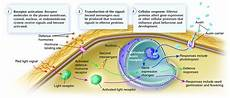 Light Receptors In Plants An Overview Of Plant Signal Transduction Biology Forums
