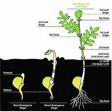 Pea Plant Growth Chart Chickpea Plant And Its Growth Stages Download Scientific