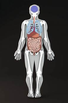 organi interni corpo umano il corpo umano organi interni sezione apparato digerente
