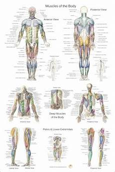 Full Body Anatomy Chart Anatomical Charts And Posters 24 X 36