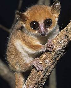Little Animals With Long Tails Lemurs Bright Eyed And Bushy Tailed Animals Beautiful