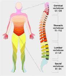 Spinal Levels Chart Spinal Cord Injury And How It Affects People Back Up