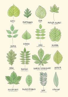 Tree Leaves Chart Quot Leaf Id Chart Quot Posters By Holly Astle Redbubble