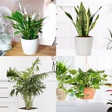 zimmerpflanzen sortiment luftreiniger kaufen bei