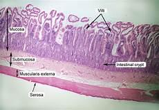 Small Intestine Slide Small Intestine Histology Labeled Human Anatomy