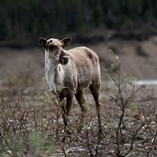 Wildlife Major Denali National Park Train Vacations Usa Today