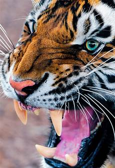 tiger wallpaper iphone 7 plus snarling tiger wallpaper for iphone x 8 7 6 free