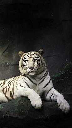 black and white tiger iphone wallpaper white tiger black background noah s ark