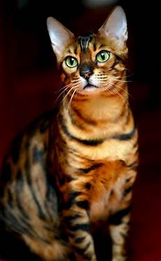 Bengal Cat Size Chart Average Size And Weight Of Bengal Cat Annie Many