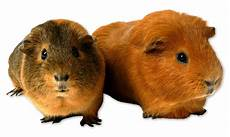 2 guinea pig png 002 by akilajographic on deviantart