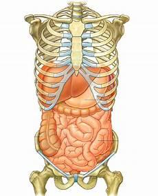 organi gabbia toracica file abdomen anatomy jpg wikimedia commons