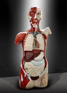 organi interni corpo umano torso umano fotografia stock immagine di interno