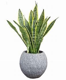 pianta grassa da interno pianta di sansevieria ornamentale da interno