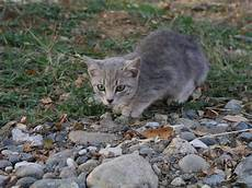 Light Grey Kitten Warriors Rp Page Backyard Chickens Community