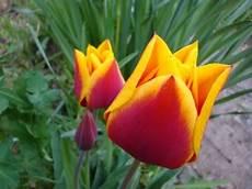 tulipani fiori il giardino di fiori giugno 2013