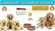 Labrador Puppy Food Chart India Labrador Diet Chart Golden Retriever Diet Plan In