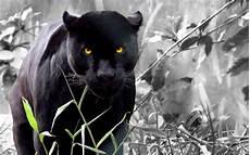 4k wallpaper of black panther wallpaper insights black panther hd computer wallpapers