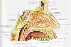 Sinus Anatomy Human Anatomy Nose Diagram Coordstudenti