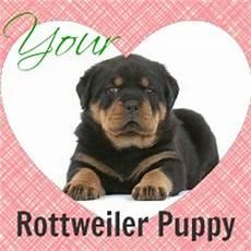 Rottweiler Growth Chart Rottweiler Puppy Growth Chart Average Puppy Weights
