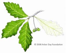 Oak Leaf Id Chart What Tree Is That Online Edition At Arborday Org