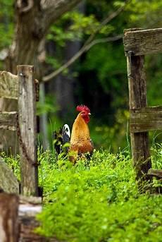 cerco animali da cortile pin di rute su countryside farm animali da