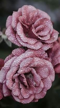 flower arrangements iphone wallpaper roses petals drops iphone 6 plus wallpaper