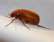 Small Light Brown Bug June Beetles What Are They And How Do I Deal With Them