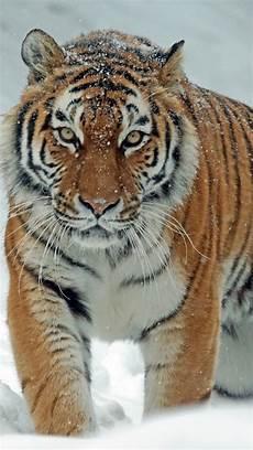 tiger wallpaper iphone 7 1080x1920 tiger snow big cats predator
