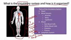 Circulatory System Organs Circulatory System Structure And Function Youtube