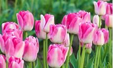 tulipani fiori tulipani come coltivarli in casa leitv
