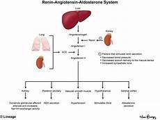 Adh Vs Aldosterone Venn Diagram Renin Angiotensin Aldosterone System Renal Medbullets