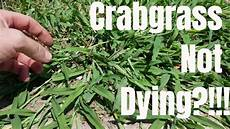 Control Crab Grass Diy How To Kill Crabgrass My Crabgrass Is Not Dying How